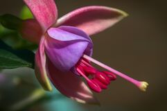 Colourful Fuchsia Flower Royalty Free Stock Photography