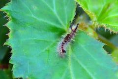Colourful gąsienica na zielonym liściu Obraz Royalty Free
