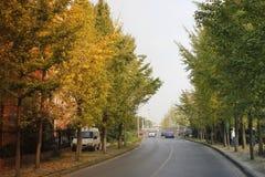 Colourful Ginkgo Ave standing besides Jiaxing Santa Road(Jiaxing,zhejiang) Stock Photos