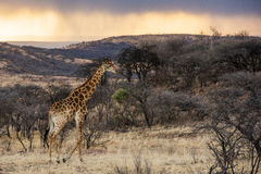 Colourful Giraffe at sunrise South Africa Stock Image