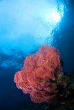 Colourful gorgone. Colourful gorgone under the surface. Indonesia Sulawesi Lembehstreet Royalty Free Stock Photo
