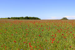 Colourful grain field with poppy flowers and corn flowers Royalty Free Stock Photos