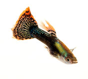 Colourful Guppy Fish Royalty Free Stock Photography