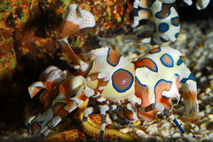 Colourful Harlequin Shrimp feeding Royalty Free Stock Photos