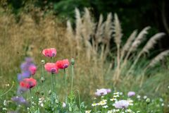 Colourful herbaceous border with poppies and pampass grass  at Eastcote House Gardens walled garden, London UK.