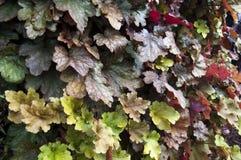 Colourful heuchera opuszcza na rośliny ścianie w jesieni zdjęcie royalty free