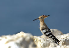 Colourful Hoopoe Royalty Free Stock Photos