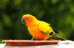 A colourful hungry parrot Royalty Free Stock Photos