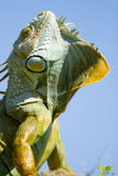 Iguana close up Stock Image