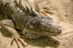 Colourful iguana on the farm in Safari World. Bangkok Royalty Free Stock Photos