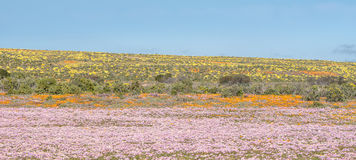 Colourful indigenous flowers near Groenrivier Royalty Free Stock Photos