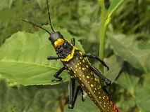 Colourful insect. Found from srilanka royalty free stock images