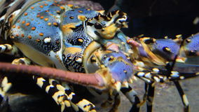 Colourful Iobster under water. Closeup stock footage