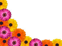 Colourful isolated pink yellow and orange gerbera daisy background Stock Photos