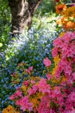 Colourful Japanese azaleas in dappled shade outside the walled garden at Eastcote House Gardens in Eastcote Hillingdon, UK
