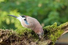 Colourful Jay bird feeding from a moss covered log Royalty Free Stock Photos