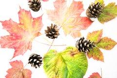 Colourful jesień liście i pinecones odizolowywający na białym tle - colours sezony jesienni ziemia fotografia stock