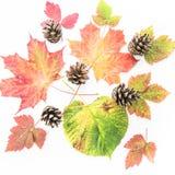Colourful jesień liście i pinecones odizolowywający na białym tle - colours sezony jesienni ziemia zdjęcia stock