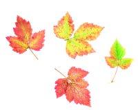 Colourful jesień liście odizolowywający na białym tle - colours sezony jesienni ziemia obraz royalty free