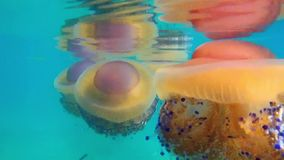 Colourful Medusa Jellyfish, Greece. A colourful large medusa Medusozoa jelly fish floating in shallow Gulf of Corinth water, with stirred up sand and sea weed stock footage