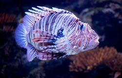 Large Striped Fish In Aquarium. Colourful large striped fish at the Lisbon Oceanarium in Lisbon Portugal royalty free stock photos