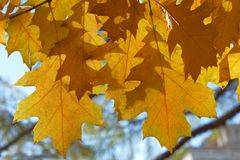 Colourful leaves of oak tree in autumn Stock Photography