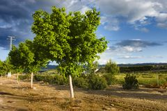 Colourful lemon tree. Some lemon trees in a colourful cloudscape Stock Photography