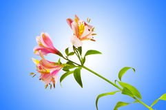 Colourful lilies on the  gradient background Royalty Free Stock Photography