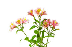 Colourful lilies isolated Stock Photo