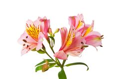 Colourful lilies isolated Royalty Free Stock Photography