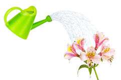 Colourful lilies isolated on the white Stock Image