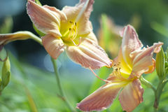 Colourful Lilium flowers. Colourful pink and yellow Lilium flowers Royalty Free Stock Image