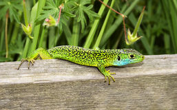 Colourful Lizard. Photo of colourful lizard taken in a Spanish forest near the Pyrenees mountains Stock Images
