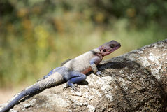 Colourful lizard on tree Stock Images