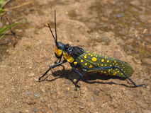 Colourful locust in ubud, bali Stock Photography