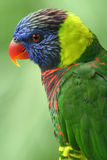Colourful Lory. A fully grown colourful lory Stock Photo