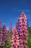 Colourful Lupins 1. Pink and violet lupins against deep blue sky Stock Photo