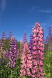 Colourful Lupins 2. Pink and violet lupins against deep blue sky Royalty Free Stock Photo
