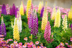 Colourful Lupins Stock Photo