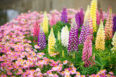 Colourful Lupins Royalty Free Stock Photo