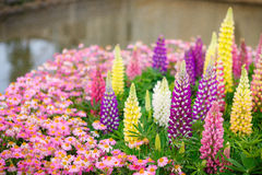 Colourful Lupins Royalty Free Stock Photography