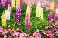 Colourful Lupins Stock Photos