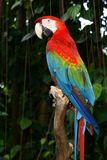 Colourful macaw bird Royalty Free Stock Image