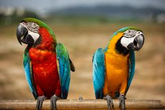 Parrots. A colourful macaw parrots stand on log stock photography