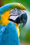 A colourful macaw in the wild Royalty Free Stock Photos