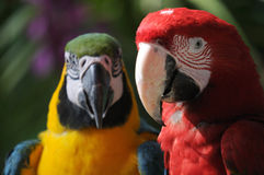 Colourful Macaws Stock Images