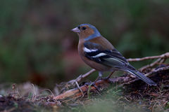 Colourful male chaffinch sitting on the tree root Royalty Free Stock Images
