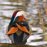 A colourful male mandarin duck.  Aix galericulata Royalty Free Stock Photo