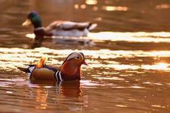 A colourful male mandarin duck. Aix galericulata Stock Photo