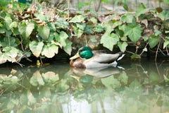 Colourful mallard duck in green water. Colourful mallard duck at the zoo Stock Photos